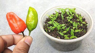 germinate chilli seeds